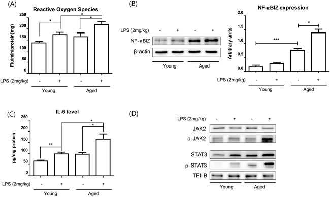 Aging potentiated LPS-induced NF-κBIZ activation.