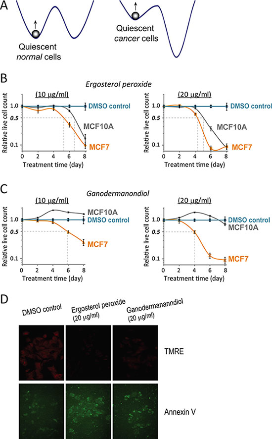 Quiescent MCF7 cells are more sensitive to compound cytotoxicity than quiescent MCF10A cells.