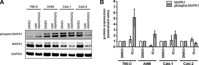 Protein expression of MAPK1.