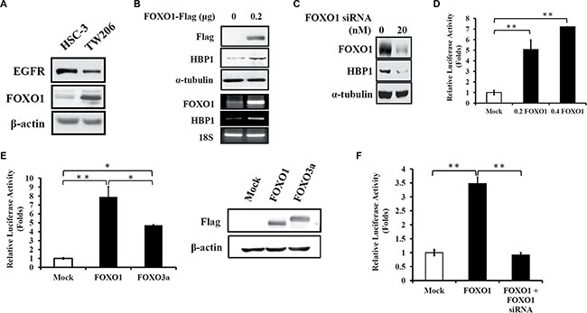 FOXO1 induces HBP1 gene expression in oral cancer.