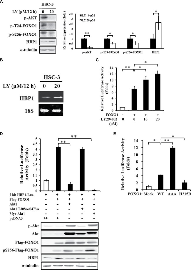 HBP1 expression is regulated by FOXO1 activity.