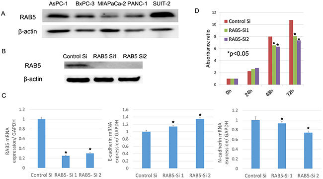 Functional analysis of RAB5 by small-interfering RNA (siRNA).