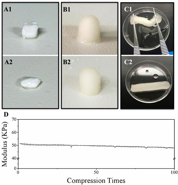 Evaluation of chitosan scaffold elasticity.