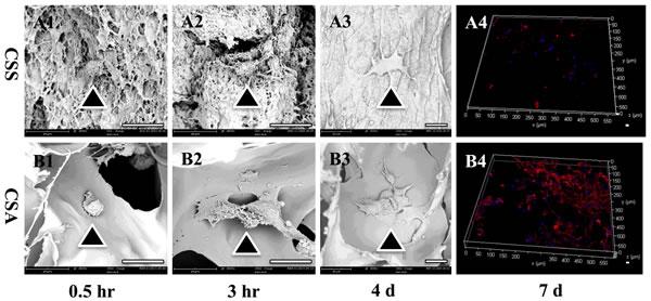 Biocompatiblity of both chitosan scaffolds