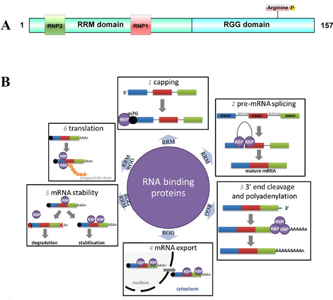 The posttranscriptional regulation controlled by RNA binding proteins.