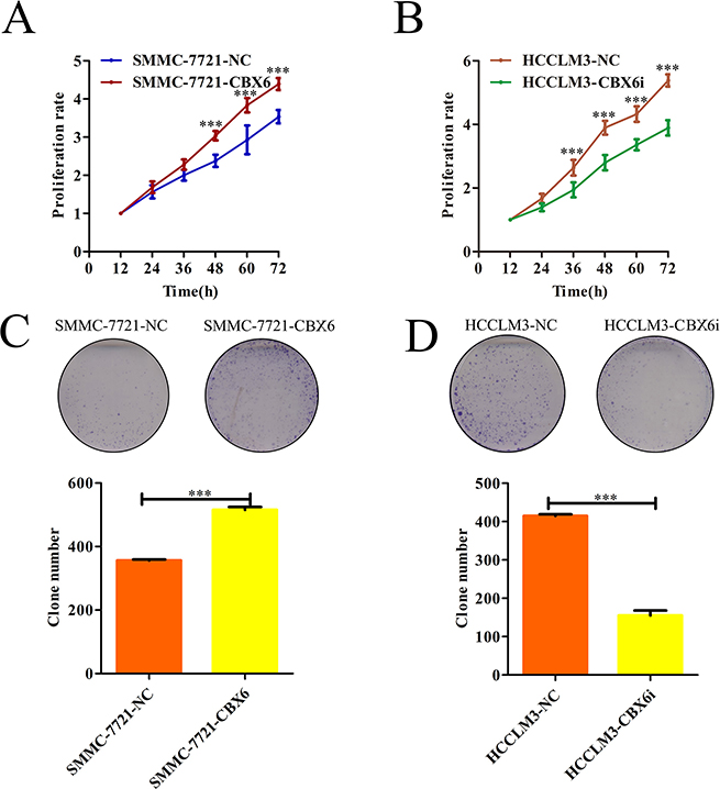CBX6 promotes HCC cell proliferation and HCC cell clonogenicity in vitro.