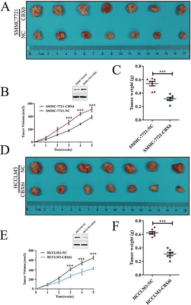 CBX6 promotes HCC tumor growth in vivo.
