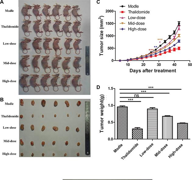 Plumbagin inhibits tumor growth in vivo.