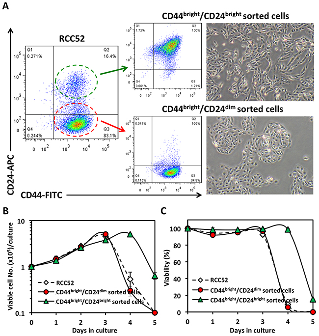 Morphology and in vitro growth patterns of sorted RCC52 subsets.