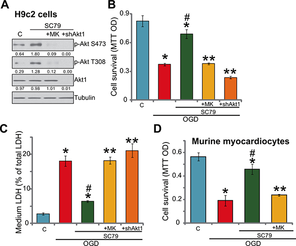 SC79-induced myocardial cytoprotection against OGD/re-oxygenation requires Akt activation.