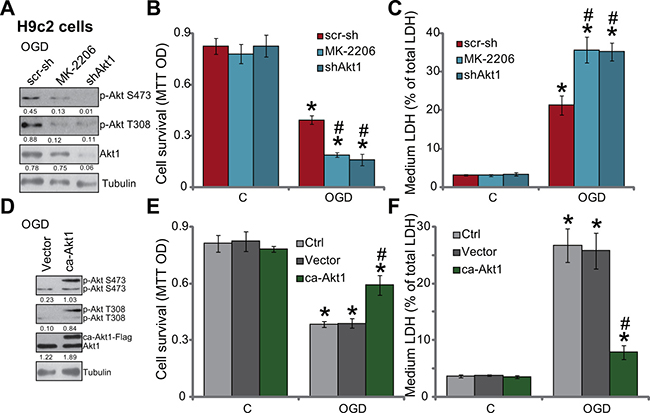OGD/re-oxygenation-induced myocardial cell death is exacerbated with Akt inhibition, but is attenuated with forced-activation of Akt.