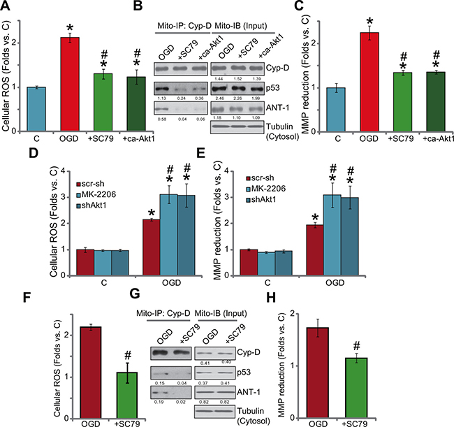 Activation of Akt by SC79 inhibits OGD/re-oxygenation-provoked programmed necrosis pathway in myocardial cells.