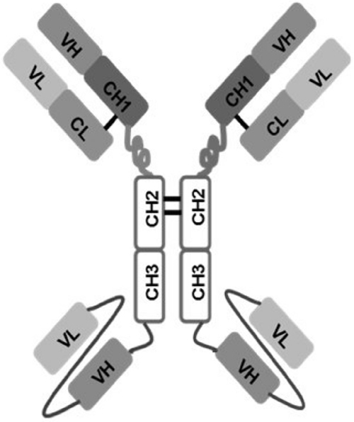 Schematic representation of 1N11-T comprising 1N11 scFv linked to CH3 domain of 1N11 by Gly-Ser-Ser linker.