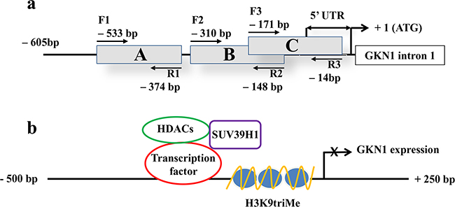 5'-region of GKN1 gene analyzed by ChIP assay and proposed gene expression regulation.