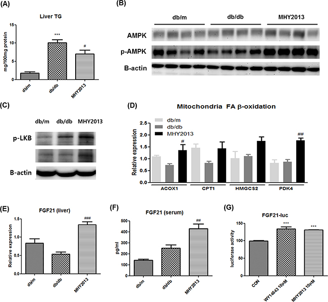 MHY2013 ameliorates hepatic steatosis and increases serum FGF21 levels.