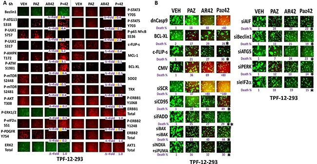 The regulation of protein phosphorylation by [pazopanib + AR42] in mutant B-RAF melanoma cells.