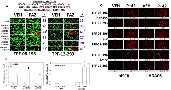 HDAC6 regulates autophagosome formation.