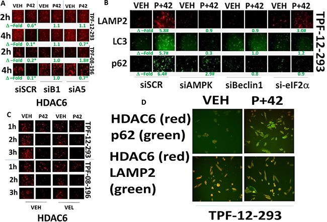 AR42 down-regulates HDAC6 expression through AMPK/eIF2α-autophagy signaling.