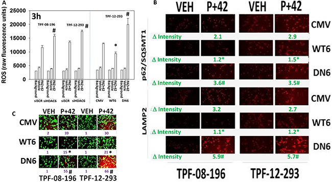 HDAC6 expression regulates the production of reactive oxygen species and tumor cell killing.