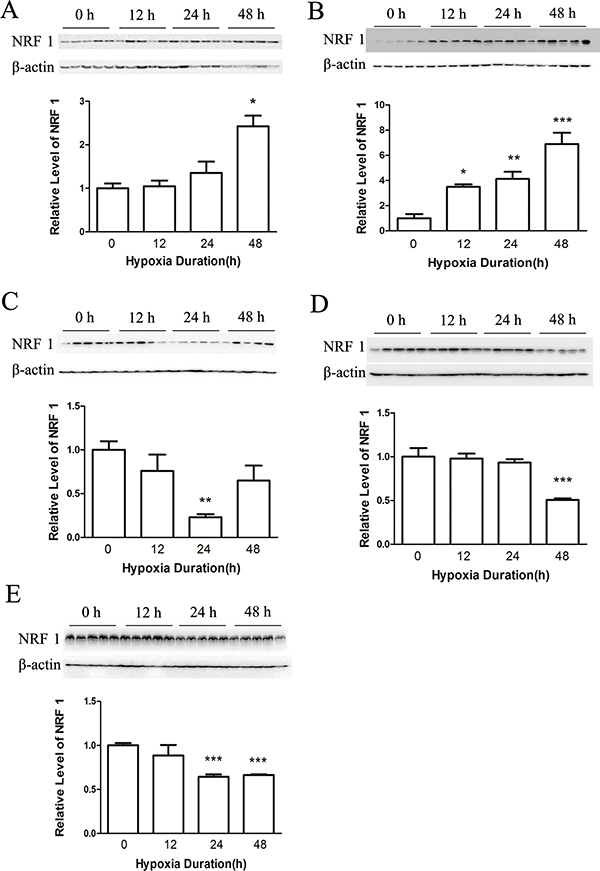 The protein level of NRF1 on different tissues after hypoxia treatment (8% O2) for 0, 12, 24 and 48 h.
