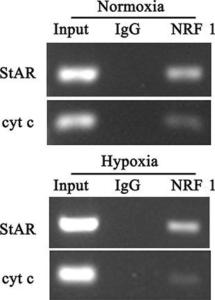 ChIP analysis for StAR promoter region.