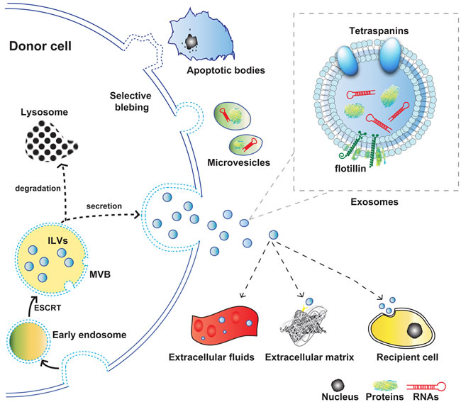 Schematic representation of the origin, release, and structure of exosomes.