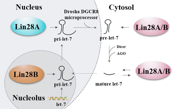 Lin28's let-7-dependent functionality.