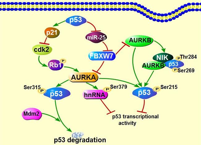 Interaction of Aurora kinases and tumor suppressor p53.