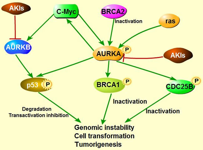 The model of AKIs targeting into several signaling pathways.
