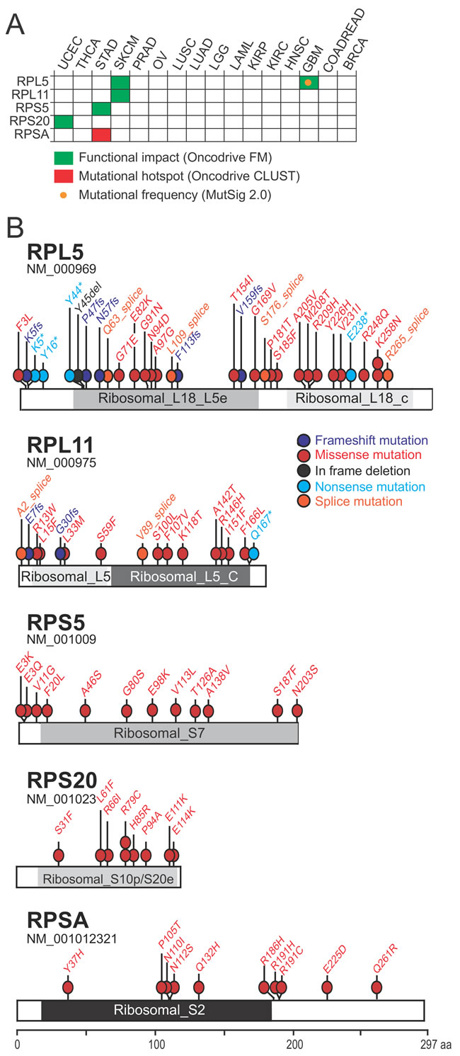 Oncotarget | The ribosomal protein gene RPL5 is a haploinsufficient ...