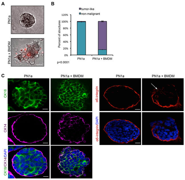 Macrophages induce a malignant phenotype in PN1a cells grown in 3D culture.