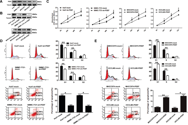 PDEF regulates cellular proliferation and anti-apoptosis of HCC cell lines.