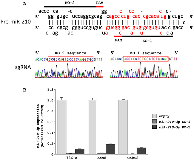 Downregulation of miR-210-3p in RCC cell lines using the CRISPR/Cas9 system.