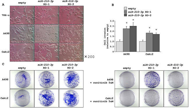 Morphological and functional characteristics of miR-210-3p-depleted ccRCC cells.