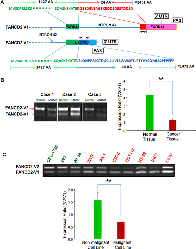 Oncotarget overlooked fancd2 variant encodes a promising for Portent path