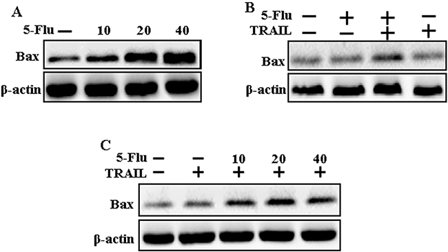 5-Fluorouracil enhanced Bax expression in A549 cells mediated by TRAIL.