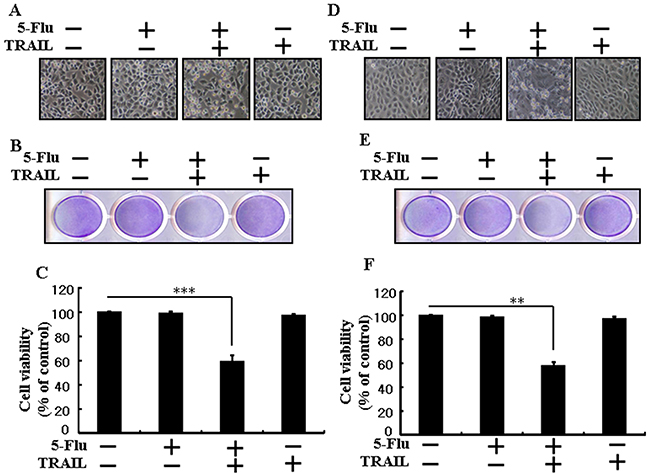 5-Fluorouracil sensitizes TRAIL-induced apoptosis in different types of lung cancer cells.