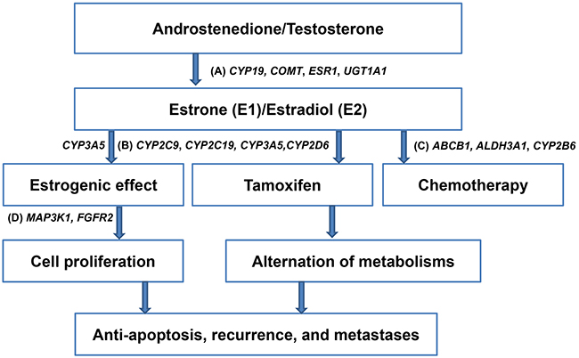 Schema illustrating single nucleotide polymorphisms that involved in the metabolism of estrogen, tamoxifen, and chemotherapeutic agents, and cell proliferation of hormone receptor-positive breast cancer.
