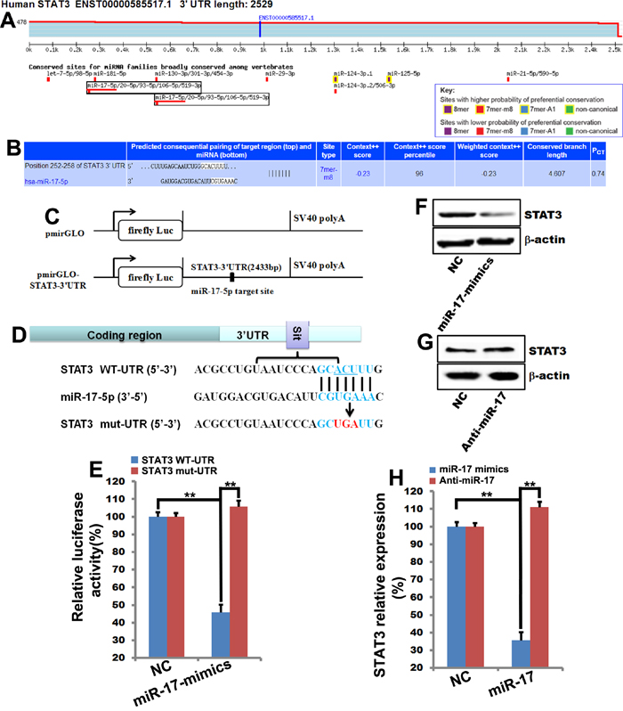 MiR-17-5p directly binds to STAT3 to inhibit its expression.
