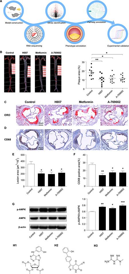 H007 alleviates atherosclerotic plaque development in apoE–/– mice.