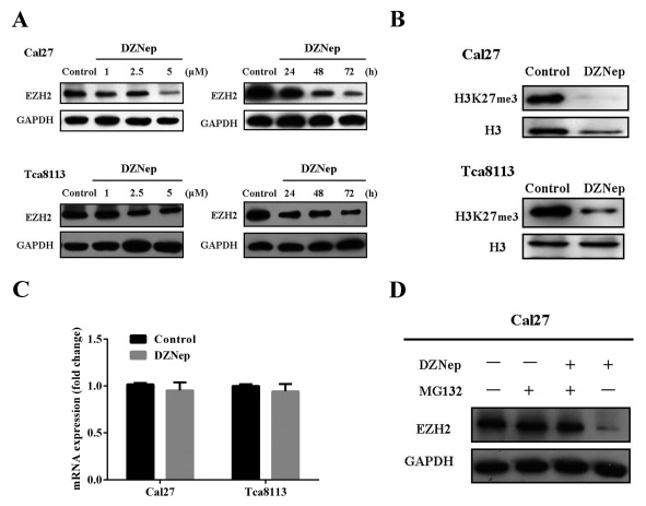 Fig 2: DZNep inhibits endogenous EZH2 by proteosome-mediated protein degradation.