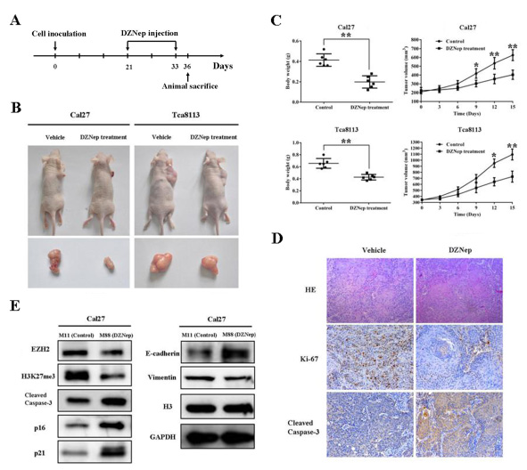 Fig 7: DZNep inhibits tumor growth by inducing intratumoral EZH2 reduction in the TSCC xenograft mouse model.