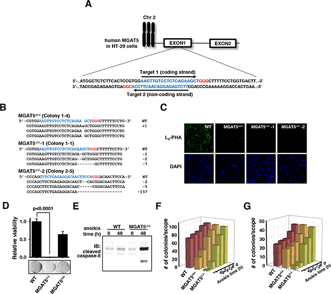 Validation of loss of anoikis resistance by MGAT5 gene knock-out in HT-29 cells using CRISPR/Cas9.