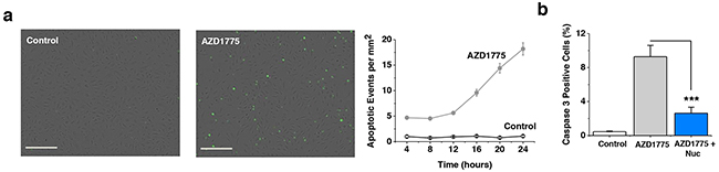 WEE1 protection against caspase-3-dependent apoptosis.