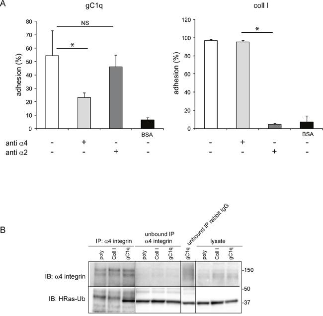 HRas-Ub is co-immunoprecipitated with the α4 integrin chain.