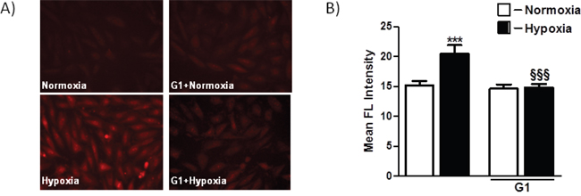 Effect of G1 on hypoxia-induced mitochondrial O2- production.