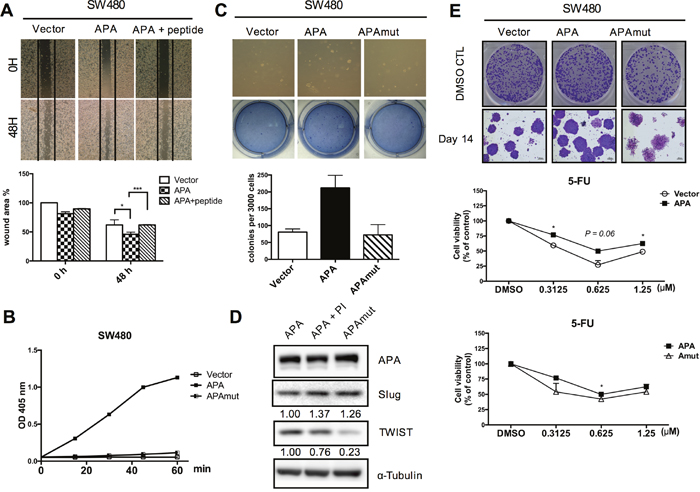 APA enzymatic activity is required for cancer cell migration and maintenance of cancer stemness in CRC cells.