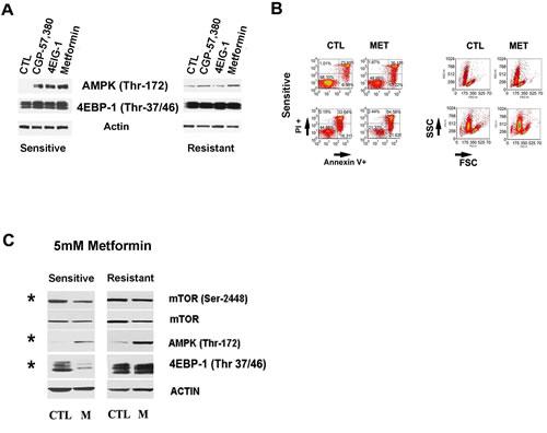 Complex I and downstream mTor pathway in Dasatinib sensitization.