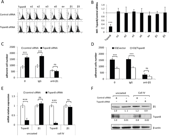 Tspan8-reduced β1 integrin-mediated adhesion was independent of β1 transcript and protein expression level.