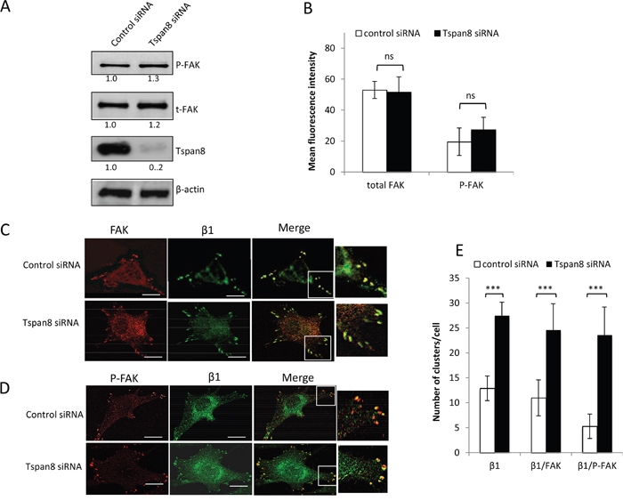 Tspan8 regulates β1 integrin clustering but does not affect phosphorylation state of FAK.